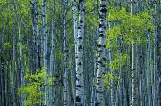 Aspen Prints - Spring Foliage On Aspen, Jasper Print by Mike Grandmailson