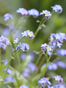 Blue Flowers Photos - Spring Forget-Me-Not Flowers in the Meadow by Jennie Marie Schell