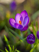 Crocus Flower Photos - Spring Glow by Mike Reid