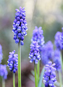 Grape Hyacinths Posters - Spring Grape Hyacinth Flowers Poster by Jennie Marie Schell
