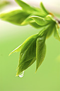 Droplet Posters - Spring green leaves Poster by Elena Elisseeva