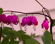Bleeding Hearts Art - Spring Heart by Robert Bales