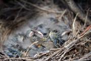 Baby Bird Photos - Spring by Holly Ethan