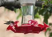 Feeding Birds Posters - Spring Hummingbird at Feeder Poster by Carol Groenen