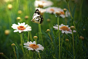Butterfly Photos - Spring In Air. by Photos by Shmelly
