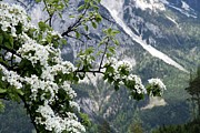 Flower-in-bloom Prints - Spring In Alps Print by Sola Deo Gloria