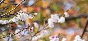 Cherry Blossoms Photos - Spring in Autumn by Eena Bo