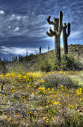Saguaro Cactus Prints - Spring in the Desert  Print by Saija  Lehtonen