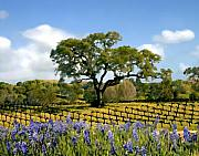 Blue Bonnets Prints - Spring in the vineyard Print by Kurt Van Wagner