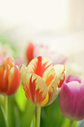 Spring Tulip Posters - Spring Is In Air Poster by Maria Kallin