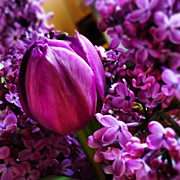 Mauve Photos - #spring #lilacs #tulips by Yoni Mayeri