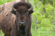 Bison Art - Spring Matriarch by Sandra Bronstein