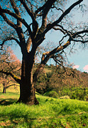 Landscape Greeting Cards Photo Prints - Spring Oak Print by Kathy Yates