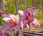 Golden Pink Orchid Photos - Spring Orchids Photograph by Don  Wright