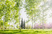 Birches Prints - Spring Park Print by Evgeni Dinev