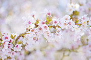 Tree Blossoms Prints - Spring Pastels Print by Jacky Parker