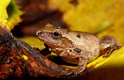Spring Peeper On Fall Leaves Print by Griffin Harris