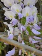 Vine Leaves Originals - Spring Purple Wisteria by Warren Thompson