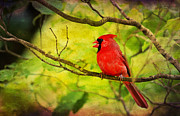 Northern Cardinal Photo Prints - Spring Red Bird Print by Darren Fisher