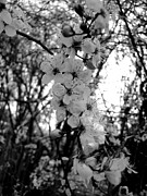 Monochrome Acrylic Prints - Spring by Roberto Alamino