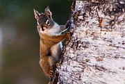 Squirrel Photos - Spring Squirrel by Ron Day