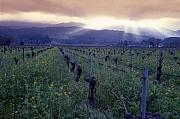 Napa Valley Vineyard Prints - Spring Sunset Over Napa Valley Print by George Oze