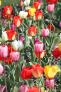 Color Glass Art Prints - Spring Tulips 3 Print by Robert Pearson