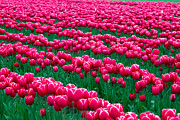 Skagit Valley Posters - Spring Tulips Poster by David R Frazier and Photo Researchers