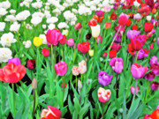 Macro Floral Photos Posters - Spring Tulips Flower Field I Poster by Artecco Fine Art Photography - Photograph by Nadja Drieling