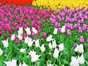 Colorful Photos Digital Art Framed Prints - Spring Tulips Flower Field II Framed Print by Artecco Fine Art Photography - Photograph by Nadja Drieling