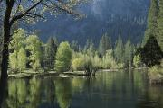 Woodland Scenes Prints - Spring View Of The Merced River Print by Marc Moritsch