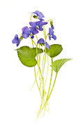 Green Leaves Posters - Spring violets on white Poster by Elena Elisseeva
