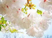 Floral Prints Prints - Spring White Pink Tree Flower Blossoms Print by Baslee Troutman Fine Art Prints