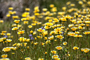 Yellow Flowers Photos - Spring Wildflowers 10 by Peter Tellone