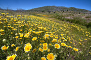 Yellow Flowers Photos - Spring Wildflowers 11 by Peter Tellone
