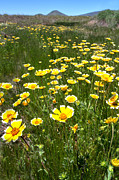 Yellow Flowers Prints - Spring Wildflowers 12 Print by Peter Tellone