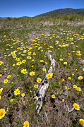 Yellow Flowers Prints - Spring Wildflowers 9 Print by Peter Tellone