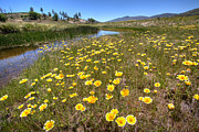 Yellow Flowers Photos - Spring Wildflowers and Stream by Peter Tellone