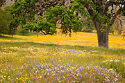 Oak Tree Photos - Spring Wildflowers by Carol Leigh
