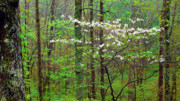 Appalachian Mountains Posters - Spring Woodland Dogwood in Bloom Poster by Thomas R Fletcher