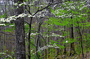 Cornus Prints - Spring Woodland Dogwood Print by Thomas R Fletcher