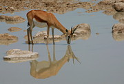 Springbok Framed Prints - Springbok Reflection Framed Print by Bruce J Robinson