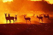 Springbok Prints - Springboks (antidorcas Marsupialis) At Sunset, South Africa Print by J. Sneesby/B. Wilkins