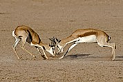 South African Photo Prints - Springboks Fighting Print by Tony Camacho