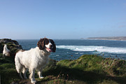 Cape Cornwall Framed Prints - Springer Spaniel Dog in Sennen Cove Framed Print by Terri  Waters
