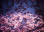 Landscapes Photo Prints - Springs Embers - Cherry Blossom Petals on the Surface of a Pond Print by Vivienne Gucwa