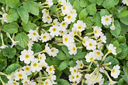 Primroses Prints - Springs flowers Primroses background Print by Aleksandr Volkov