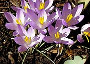 Yellow Crocus Posters - Springtime Crocuses  Poster by Michelle Calkins