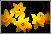 Yellow Photographs Prints - Springtime Daffodils Print by Tam Graff