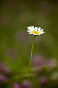 Wildflower Fine Art Prints - Springtime Daisy Print by Andrew Soundarajan